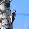 Woodpecker (Hairy)