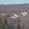 Swans (Trumpeter ) Migrating