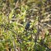 Sparrow (Song Sparrow)