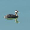 Grebe (Red Necked Grebe)