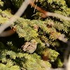 Sparrow (Savanah Sparrow)