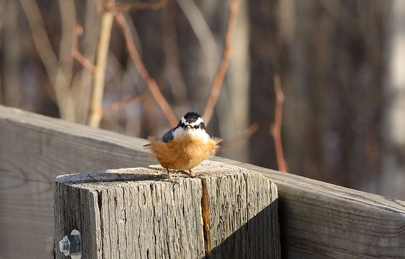 Nuthatch (Red Breasted)