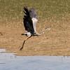 Heron (Great Blue Heron)
