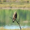 Hawk (Swainson's Hawk) Juvenile