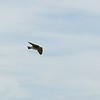 Swallow (Northern Rough winged Swallow)
