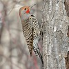 Northern Flicker intergrade