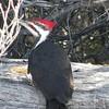 Woodpecker (Pileted Woodpecker)