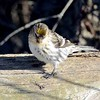 Common Redpoll (yellow crown)