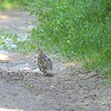 Grouse (Ruffed Grouse)