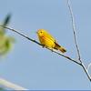 Warbler (Yellow Warbler)