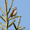 Sparrow (White Throated Sparrow)