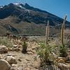 Taulli - Lupinus weberbauerii (Fabaceae) on the walk up Quebrada Santa Cruz