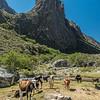 Cows in Quebrada Santa Cruz