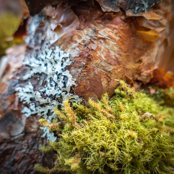 Lichen and moss on the bark of Quenal trees - Polylepis sp. (Rosaceae)