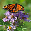 Monarch and honeybee on NE Asters