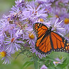 Monarch on NE Asters