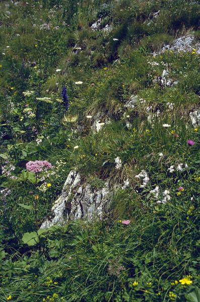 Habitat with Aconitum napellus ssp. tauricum and Adenostyles glabra