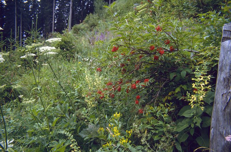 habitat of Salvia glutinosa and Sambucus racemosa (red berries)