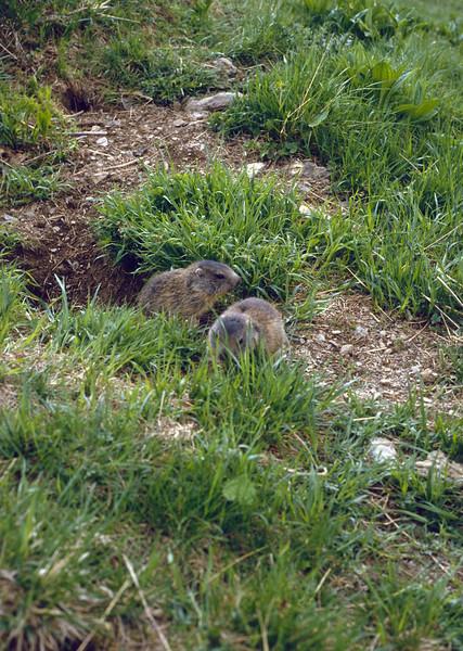 Marmota marmota, playing young mountainmarmots