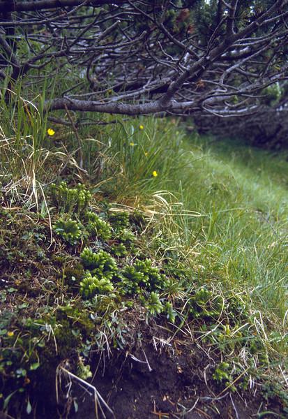 habitat of Hyperzia selago