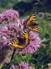 Adenostyles glabra and butterfly: Aglais urticae (NL: kleine vos)