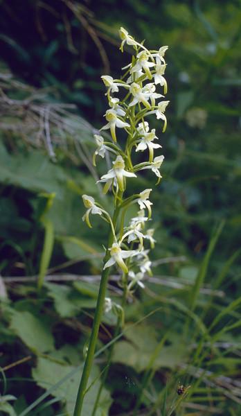 Platanthera chlorantha, (NL: bergnachtorchis)