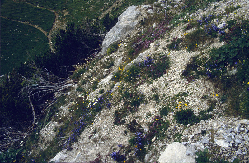 scree habitat with Campanula cochlearifolia
