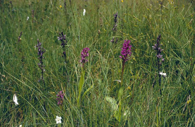 Bogland with Swertia perennes and Dactylorhiza majalis