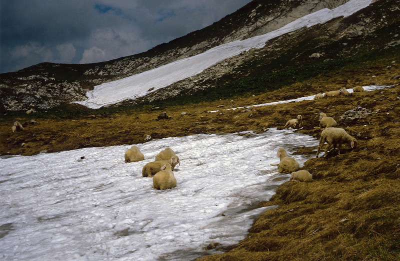 sheep, resting in the snow