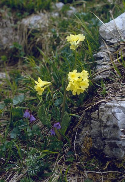 Primula elatior and Soldanella alpina