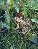 Rana temporaria, (NL: bruine kikker)