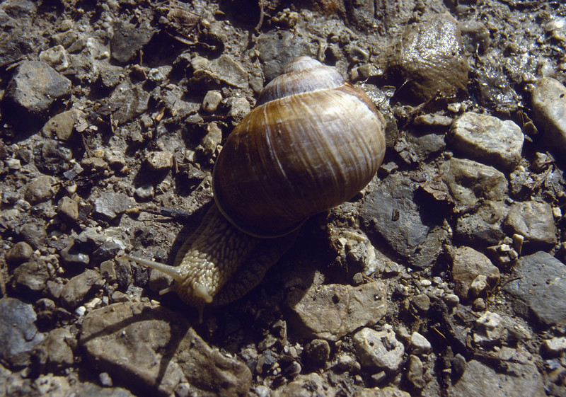 escargot,  snale, (NL: wijngaard slak)