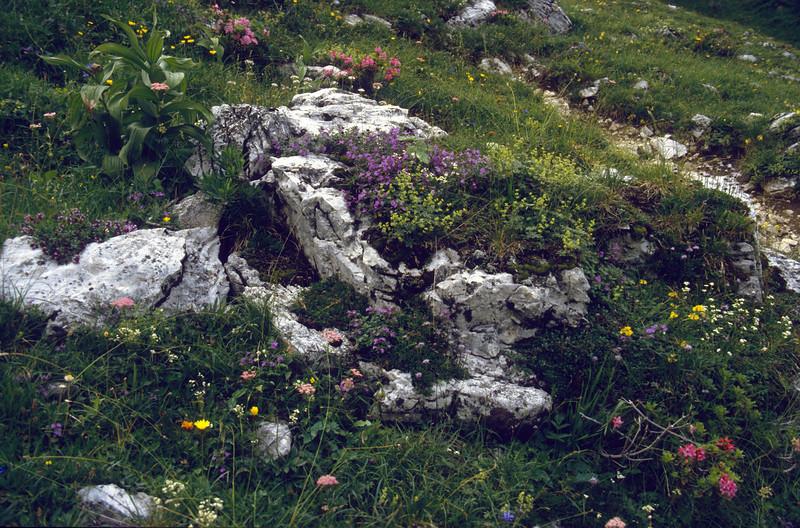 lime stone habitat of alpine plants and rockplants