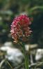 Nigritella stiriaca (N. rubra var. stiriaca_Rech.)