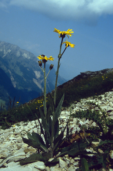 Senecio doronicum ssp. doronicum (D: gemzwurz)