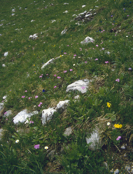 Habitat with Gentiana clusii, Primula farinosa, P. auricula
