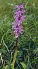 Orchis mascula ssp.signifera (NL: sierlijke mannetjes orchis)