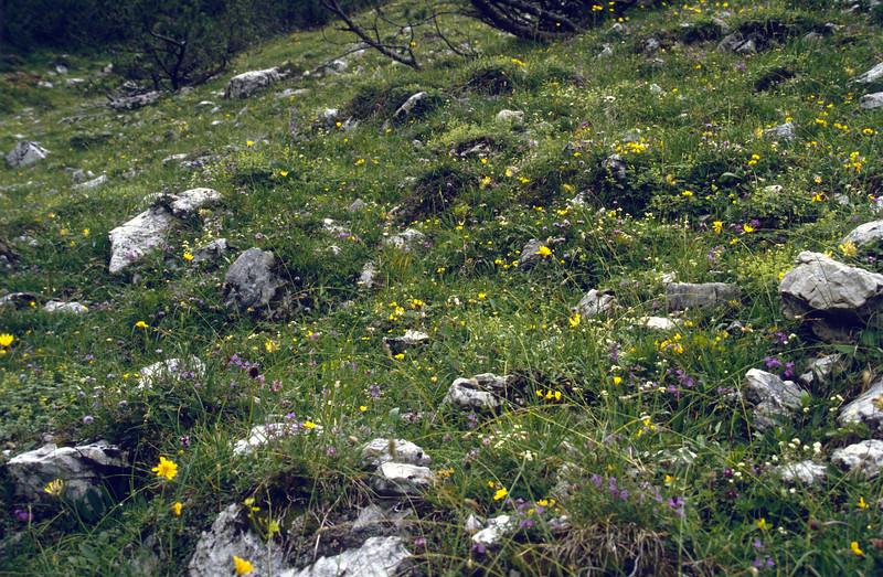 meadow vegetation with Nigritella niger, (NL: zwarte vanilleorchis)
