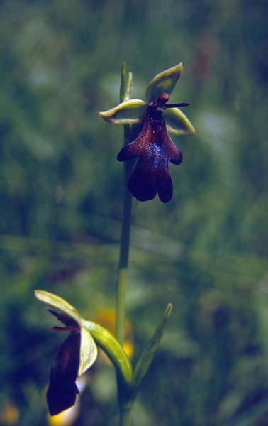 Ophrys insectifera, vliegenorchis