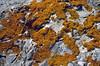 Xanthoria elegans (lichen)