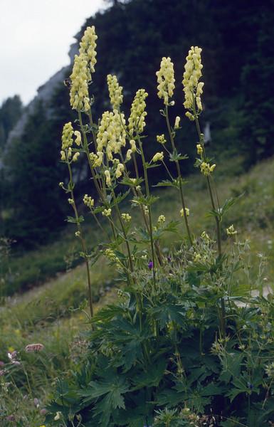 Aconitum lycoctonum ssp. vulparia