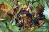 Salamandra atra, (NL: Alpen landsalamander)