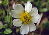 close up flower of Anemone narcissiflora