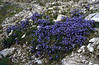 scree with Campanula cochlearifolia