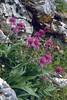 Centaurea scabiosa ssp. alpestris