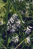 Astragalus alpinus, (NL: Alpentragant)