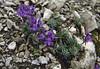 Linaria alpina ssp. petraea