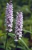 Dactylhorhiza maculata, (NL: gevlekte orchis)