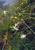 Silene nutans ssp. nutans