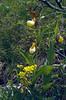 Cypripedium calceolus, (NL: vrouwenschoentje juli 1984)